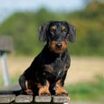 http://www.dackel-hundefotos.de/ - Hundefotografie Petra Spoerle-Strohmenger